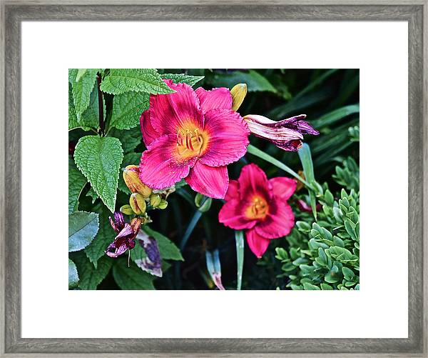 2015 Summer At The Garden Strawberry Candy Daylily 2 Framed Print