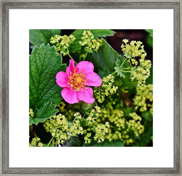 2015 Summer's Eve At The Garden Lipstick Strawberry Framed Print