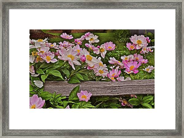 2015 Summer's Eve Front Yard Peonies 1 Framed Print