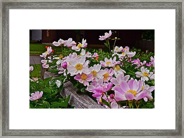 2015 Summer's Eve Neighborhood Garden Front Yard Peonies 4 Framed Print