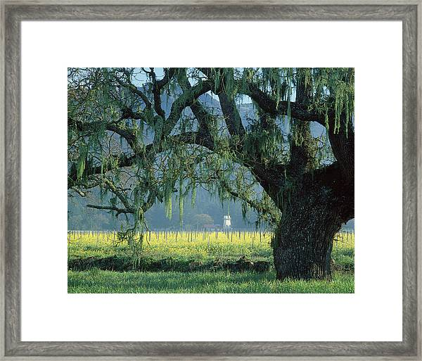 2b6319 Mustard In The Oaks Sonoma Ca Framed Print
