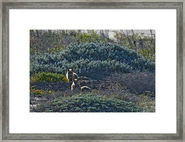 Red-tailed Foxes Framed Print