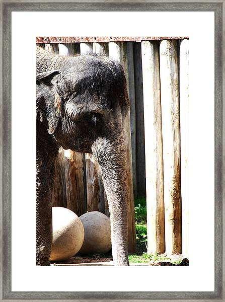 Asian Elephant Framed Print by Thea Wolff