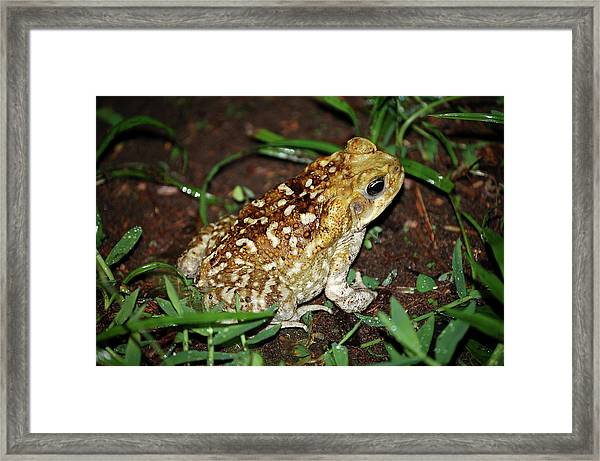 Framed Print featuring the photograph Cane Toad by Breck Bartholomew