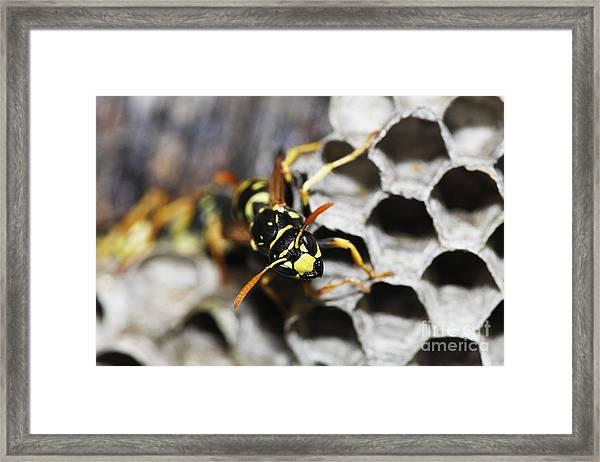 Common Wasp Vespula Vulgaris Framed Print