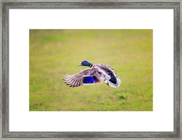 Duck-drake Framed Print