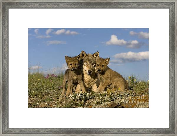 Gray Wolf And Cubs Framed Print