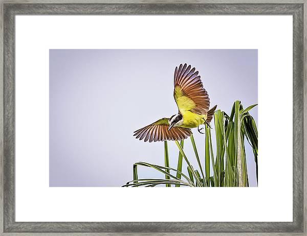 Great Crested Flycatcher Framed Print