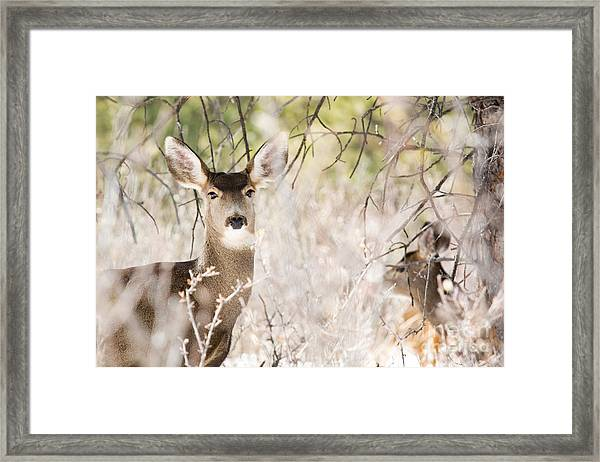 Herd Of Mule Deer In Deep Snow Framed Print