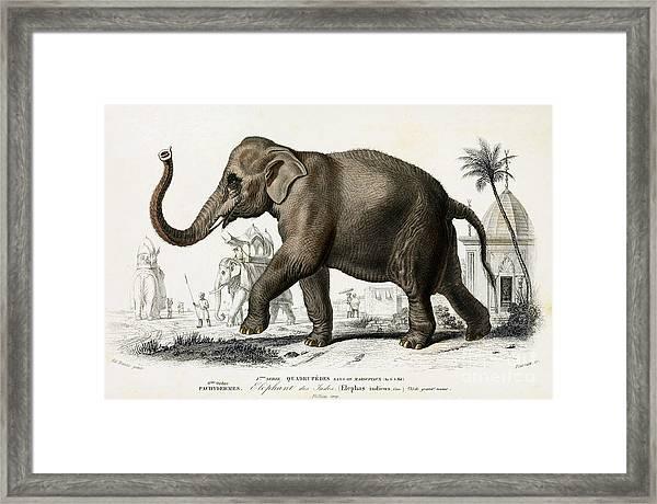 Indian Elephant, Endangered Species Framed Print