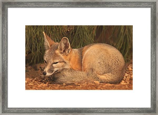 San Joaquin Kit Fox  Framed Print