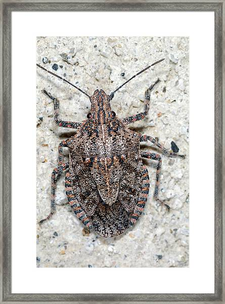 Framed Print featuring the photograph Stink Bug by Breck Bartholomew