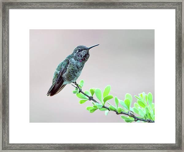 Anna's Hummingbird Framed Print