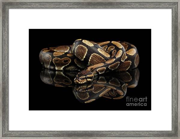 Ball Or Royal Python Snake On Isolated Black Background Framed Print