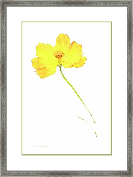 Cosmos Flower Framed Print