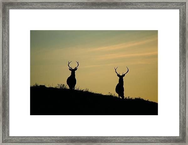 Red Deer Stags  Framed Print