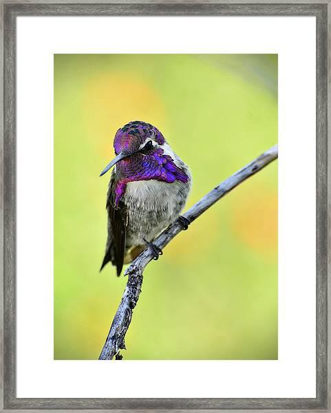 Costas Hummingbird  Framed Print
