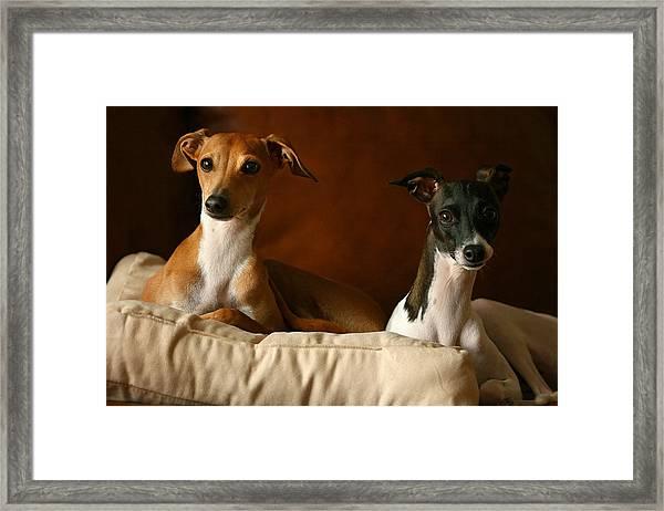 Italian Greyhounds Framed Print