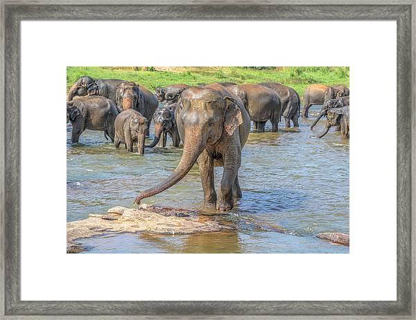 Pinnawala - Sri Lanka Framed Print