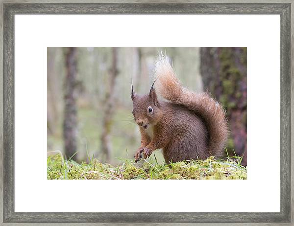 Red Squirrel - Scottish Highlands #8 Framed Print