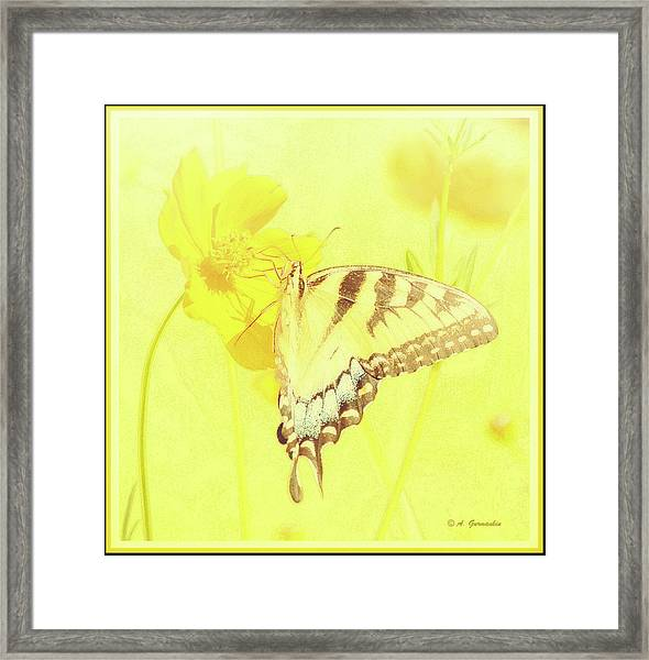 Tiger Swallowtail Butterfly On Cosmos Flower Framed Print