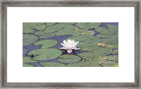 Water Lily In The Pond Framed Print