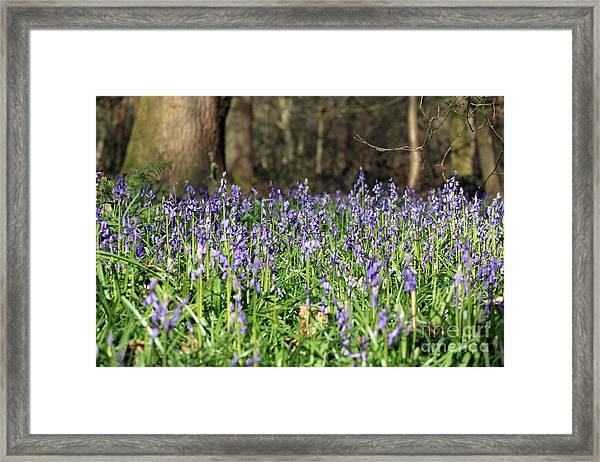 Bluebells At Banstead Wood Surrey Uk Framed Print