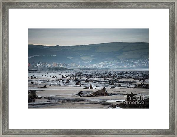 Bronze Age Sunken Forest At Borth On The West Wales Coast Uk Framed Print