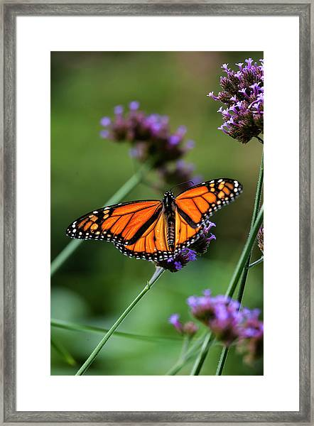 Monarch Butterfly Framed Print by Robert Ullmann
