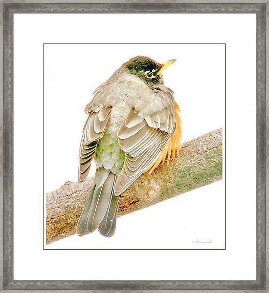 American Robin Male, Animal Portrait Framed Print