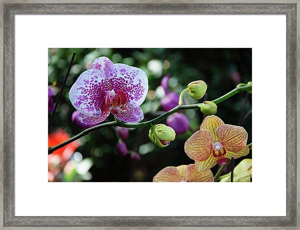 Butterfly Orchid Flowers Framed Print
