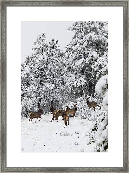 Elk In Deep Snow In The Pike National Forest Framed Print