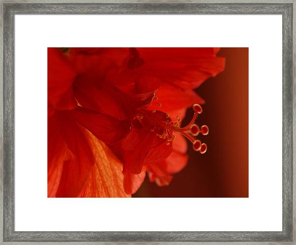 A Backlit Hibiscus Framed Print
