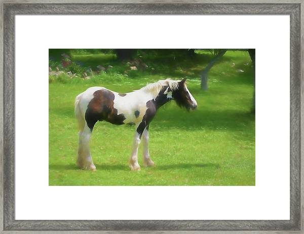 A Beautiful Young Gypsy Vanner Standing In The Pasture Framed Print