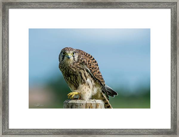 A Beautiful Young Kestrel Looking Behind You Framed Print