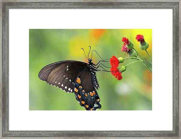 A Butterfly  Framed Print