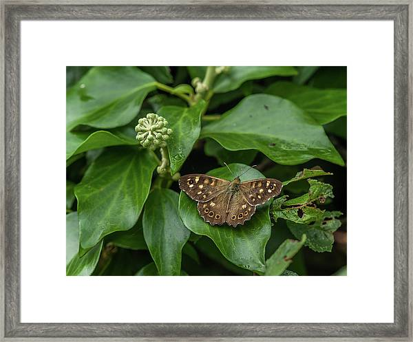 A Butterfly Sitting On An Ivy Leaf Framed Print