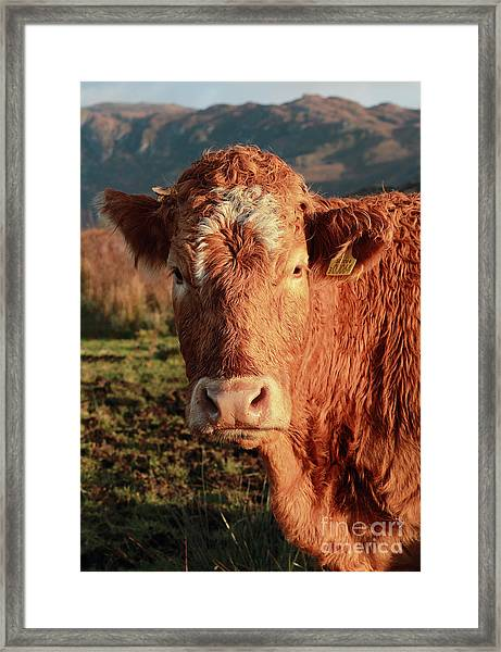 A Curious Red Cow Framed Print