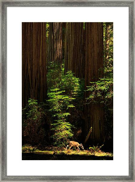 A Deer In The Redwoods Framed Print