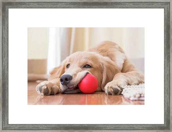 A Dog And His Ball Framed Print
