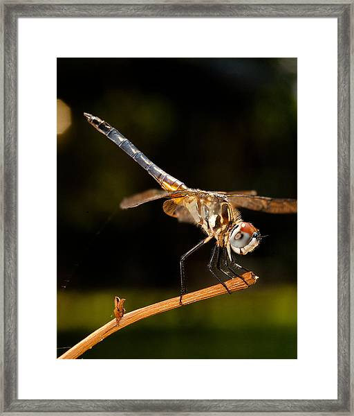 A Dragonfly Framed Print