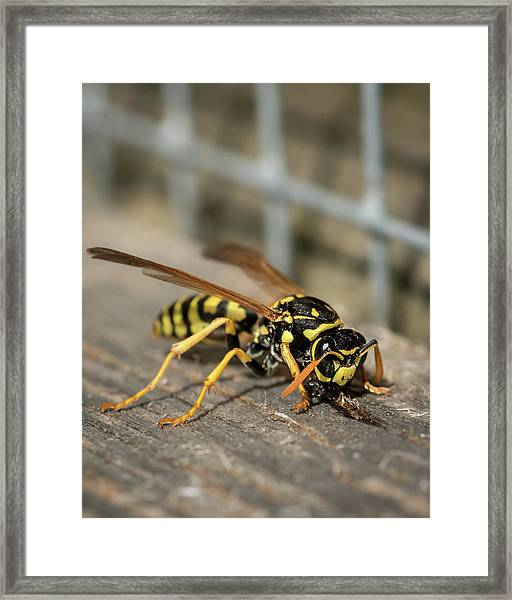 A European Paper Wasp Collecting Wood For Nest Framed Print