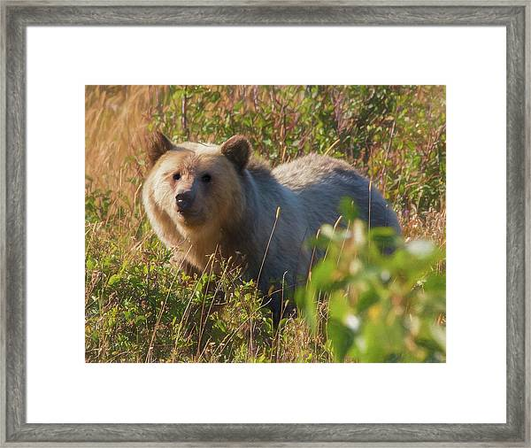 A  Female Grizzly Bear Looking Alertly At The Camera. Framed Print