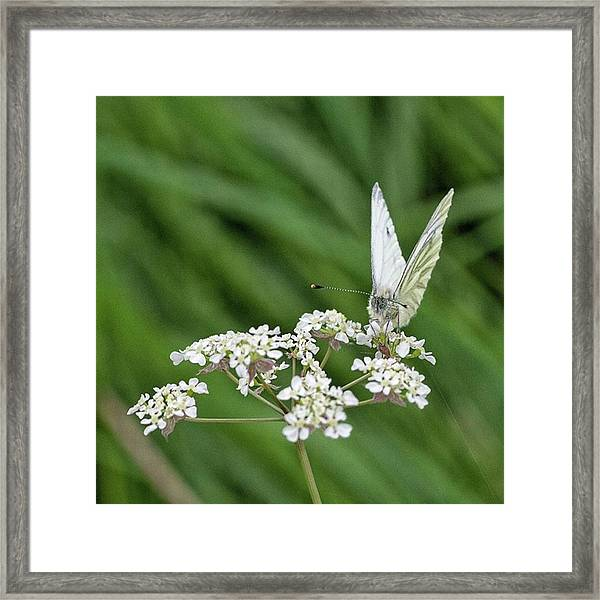 A Green-veined White (pieris Napi) Framed Print