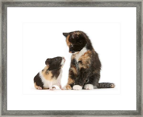 A Guinea For Your Thoughts Framed Print