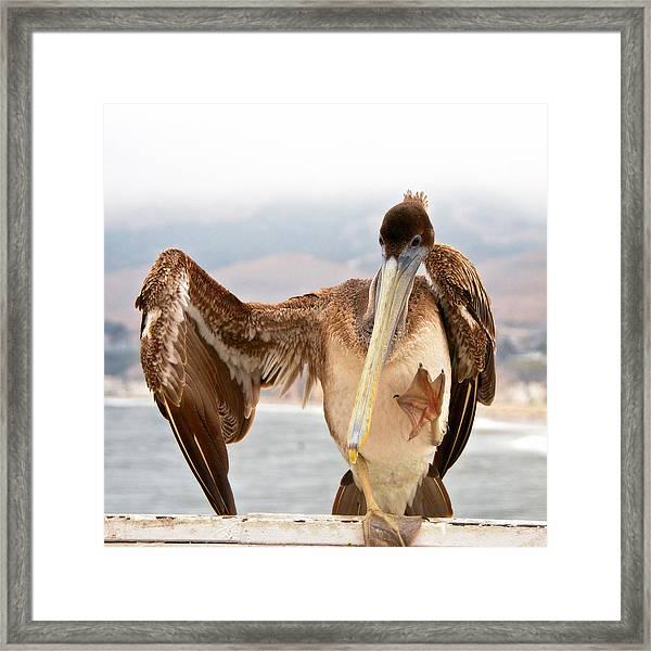 A Leg Up, Brown Pelican Framed Print