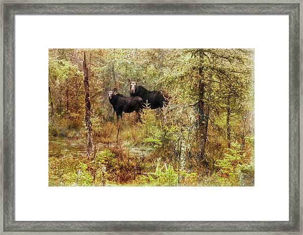 A Mother And Calf Moose. Framed Print