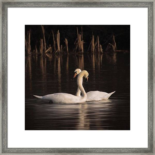 A Painting Of A Pair Of Mute Swans Framed Print