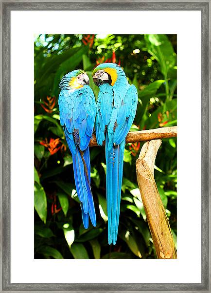 A Pair Of Parrots Framed Print