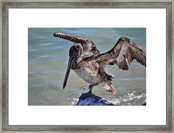 A Pelican Practising A Karate Kick Like Daniel In The Karate Kid Framed Print